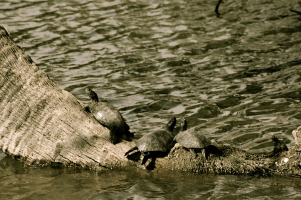 Turtles basking at City Park in New Orleans (I miss City Park!).  Photo by Me!