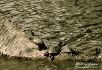 """""""City Park Turtles,"""" New Orleans, 2010. Also, noted in an earlier post."""