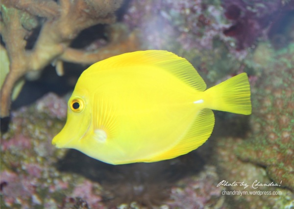 Yellow Tang, Tennessee Aquarium, 2013