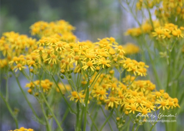 Yellow Weeds aka Wild Flowers