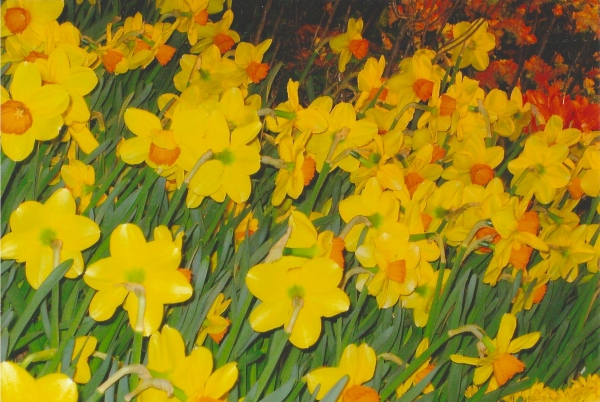 """Daffodils,"" photo by Lou"