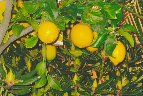 """Lemons,"" photo by Lou"