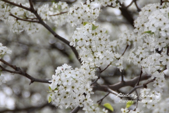 Pear Blossom, March 2014