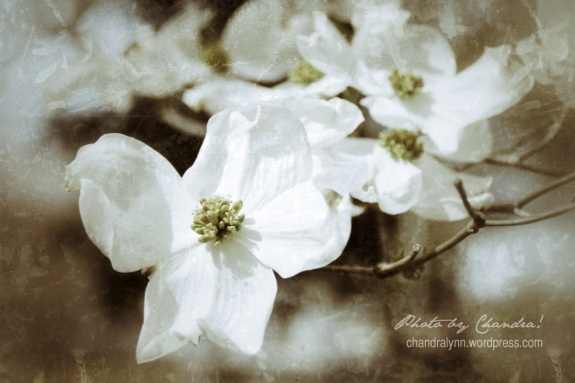 Dogwood by Me, April 2014