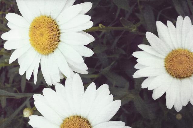 Daisy by Midteacher