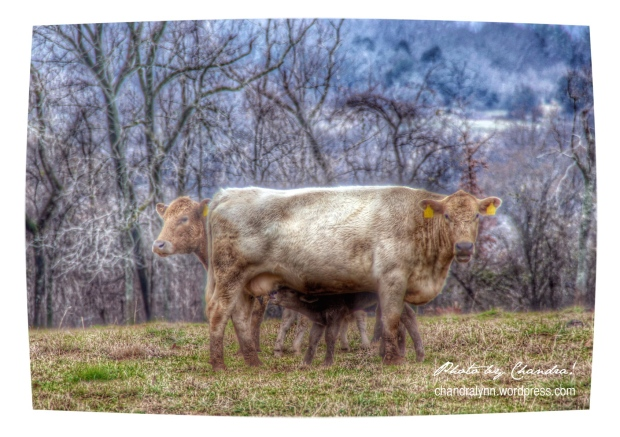 Two-Headed Cow