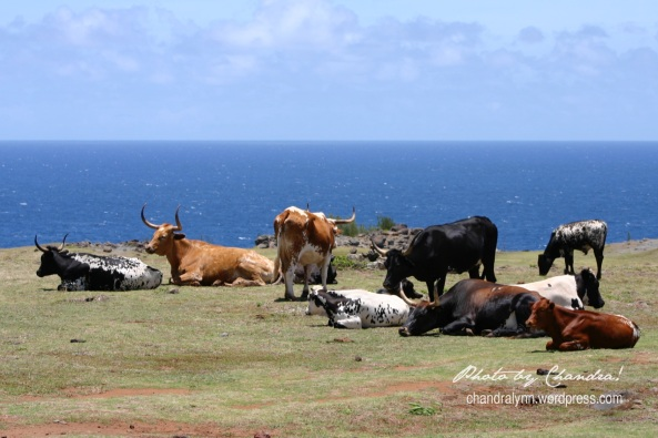 """Bovine Basking on a Beach,"" Maui, Hawaii, 2005"