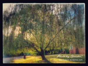 """""""Weeping Willow,"""" iPhone Photo"""