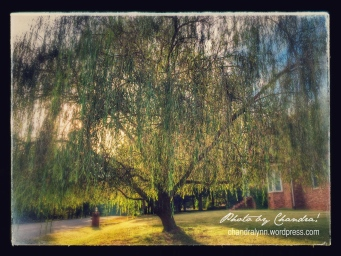 """Weeping Willow,"" iPhone Photo"