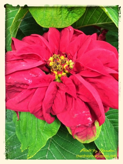 """Winter Rose Poinsettia""--I'd never seen one before this year.  It's beautiful (and I hear they last longer than ""regular"" poinsettias)!"