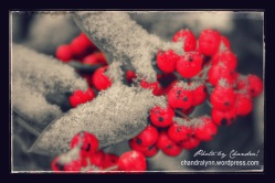"""Snowy Bird Berries,"" Original Photo 2013"