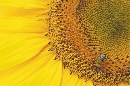 The Bee and the Sunflower by DBW