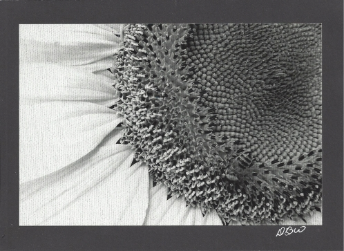The Bee and the Sunflower in Black and White by Dee