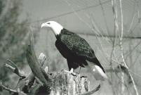 """""""Bald Eagle"""" by Grstamping"""