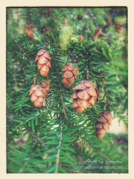 """Miniature Hemlock Pinecones,"" June 2015"