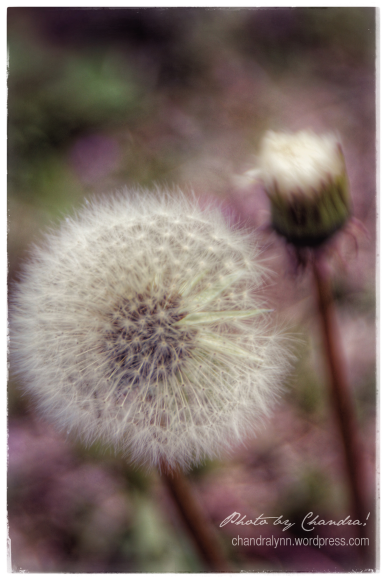 """Dandelion Morning"""