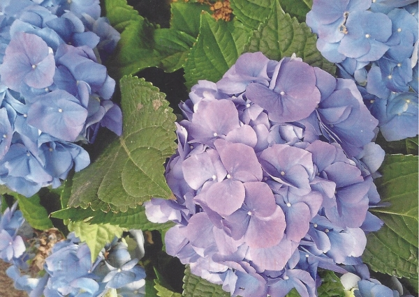 Hydrangeas by Christine B.