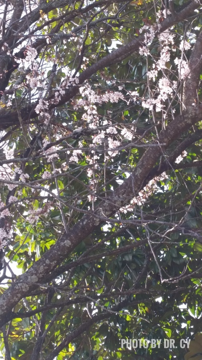 """Tree in Bloom,"" Photo by Dr. Cy"