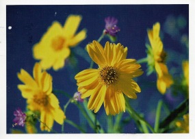 Wildflowers, Cutleaf Daisy. Photographer, Tim Fitzharris. Postcard from Valerie
