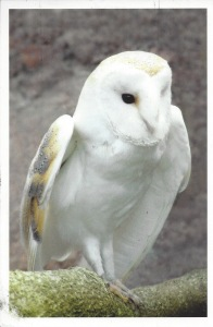 From Yanelis--Barn Owl