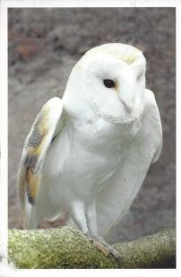 From Yanelis--Barn Owl