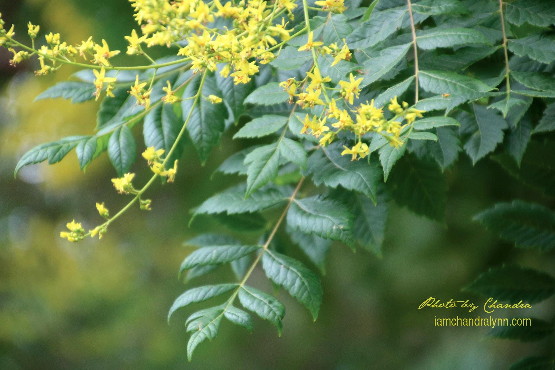 Golden Flame Tree-1