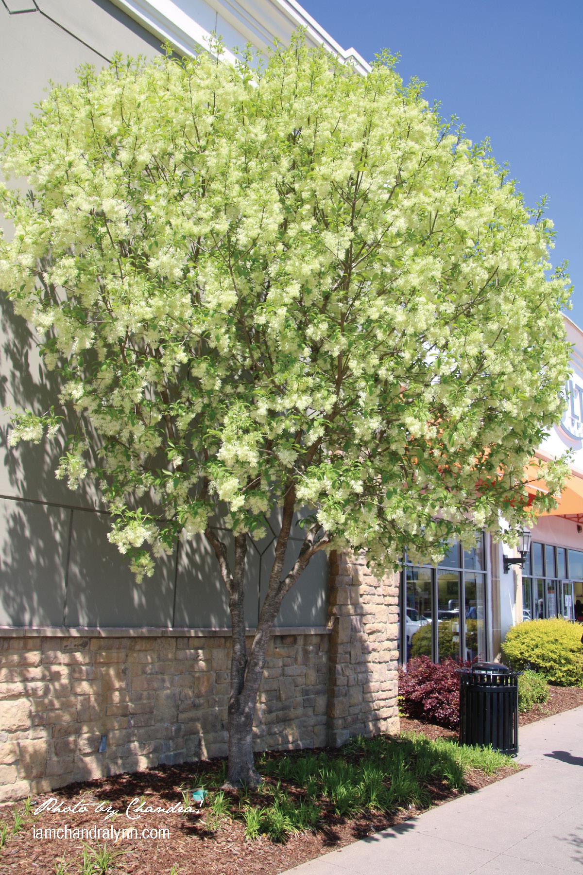 Fringe Tree-1