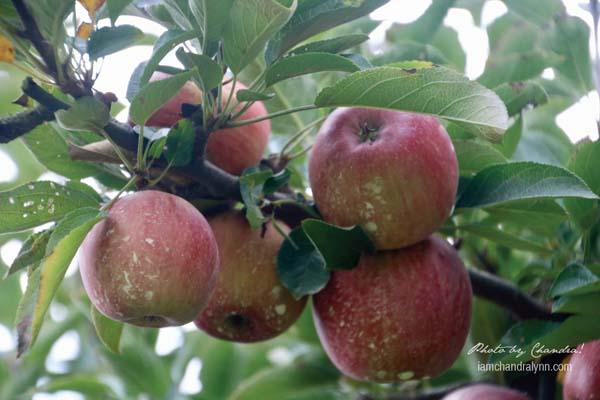 Apples-11