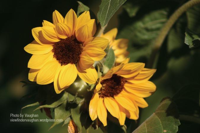 Sunflower by VAM-2