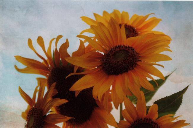 Suzette's Sunflowers